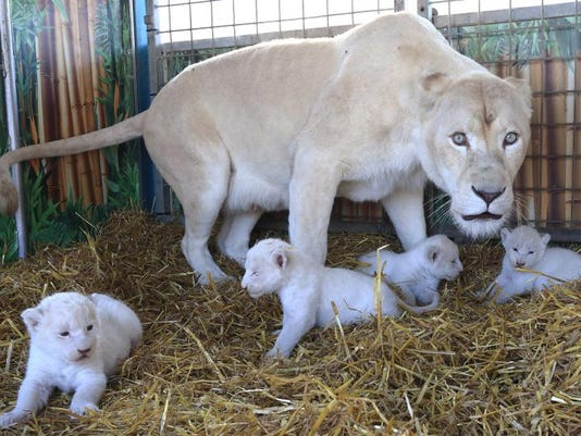 Germany White Lions
