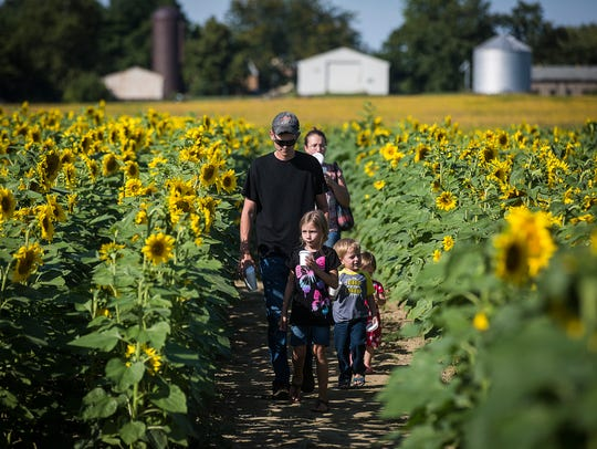 Visitors make their way through a sunflower maze at