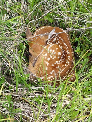 DNR Wildlife Biologist Dianne Robinson advises outdoor enthusiasts to stay away from whitetail deer fawns. She said their best chances in the wild are with their mothers.