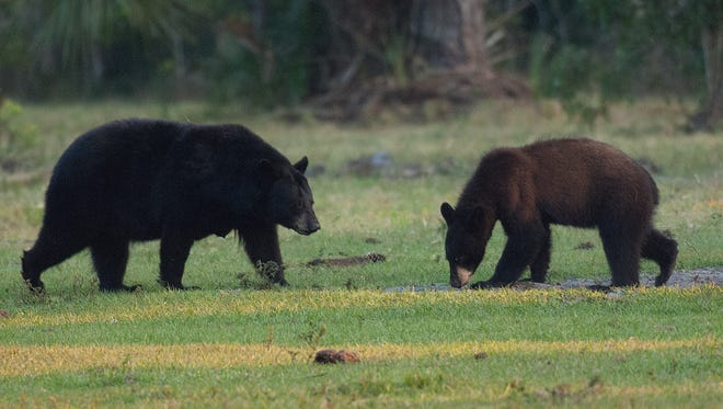 A pair of black bears are seen at the Green Glades West hunting camp in the Everglades.