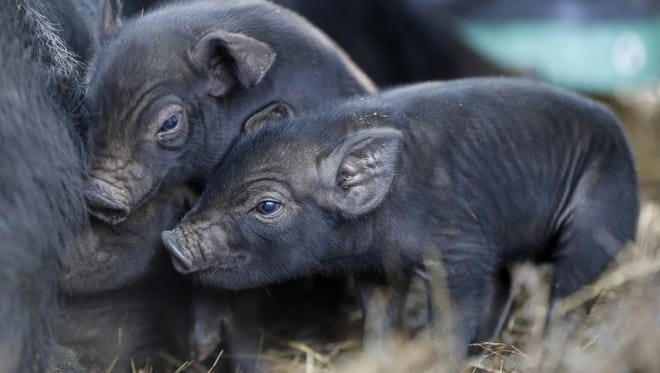 Three-day-old mulefoot piglets nuzzle their mother at Dogpatch Farm in Washington, ME.