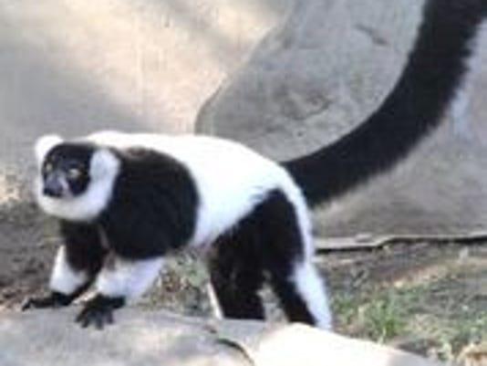 636416070721503364-bw-lemur.jpg