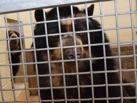 Andean bears Bandit and Spangles were staying warm inside their habitat at the Alexandria Zoo Saturday.