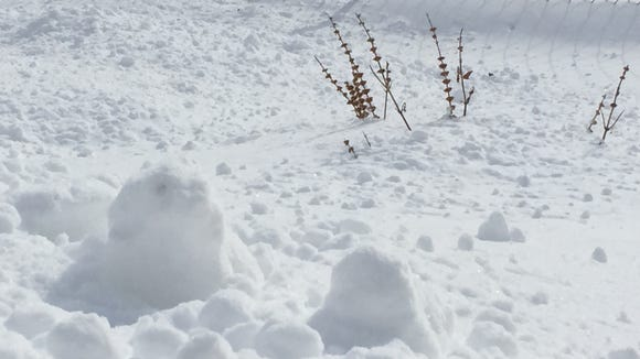 The snow has yet to completely bury last summer's basil.