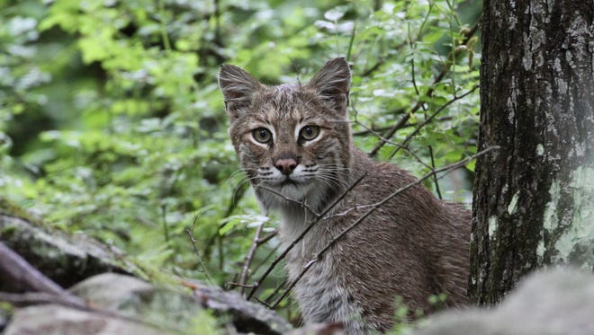 "The Nature Conservancy is trying to preserve 9,000 acres in northwestern New Jersey for a ""Bobcat Alley"" to help the endangered bobcat, whose population is about 250 in the state."