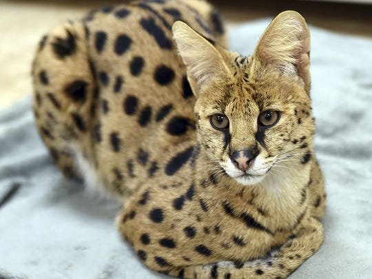 An African Serval cat was rescued from the streets of Reading by the Animal Rescue League of Berks County. Police captured the big African cat, resembling a cheetah, running loose through the streets. The cat was transported to a big cat rescue facility that can give it the special diet and extensive exercise it needs.