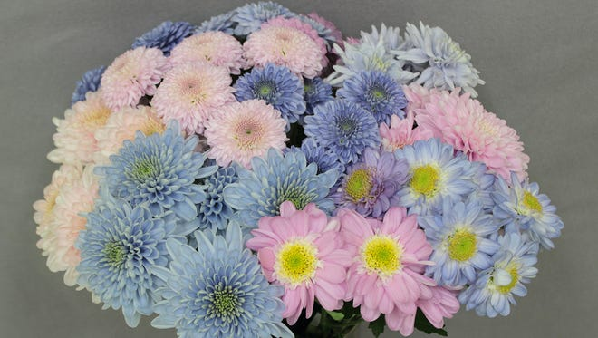 A bouquet of unaltered pink and genetically modified blue chrysanthemums.