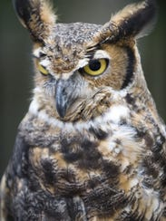Great Horned Owls make their home at Woodford Cedar