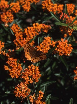 A butterfly weed in full bloom is covered with tangerine orange flowers. It is a native plant that is deer-proof and flourishes in full sun. It is low maintenance.