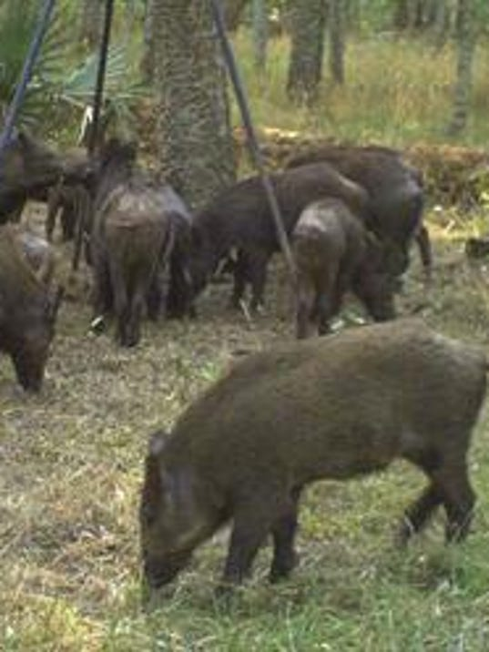 R Hogs Feral pigs go h...