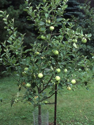 This young yellow transparent apple tree was grown by grafting a bud from the parent tree to grow another identical tree.
