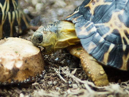 This radiated tortoise lives at Zoo Knoxville. The zoo is among the top facilities working to try to save the critically endangered species.