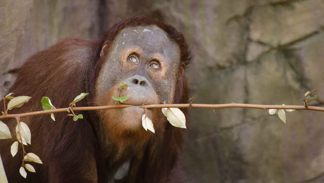 Ten year-old orangutan Kumar explores the outside habitat at Red Ape Reserve.