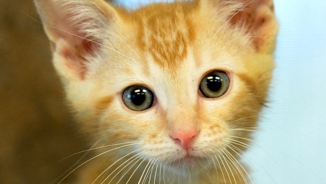 Mr. Rickels is a 9-week-old, male, orange tabby. He is good with other cats and would like to be adopted. You can adopt Mr. Rickels and his friends at the  Animal Service Center of Wichita Falls located at 1207 Hatton Rd.