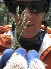 Arborist Jim Clark holds a sprig of new growth that he collected from the dizzying top of an ancient giant sequoia in the southern Sierra Nevada near Camp Nelson.
