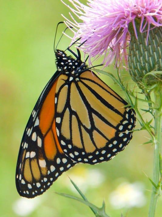 Monarch-on-flower.JPG