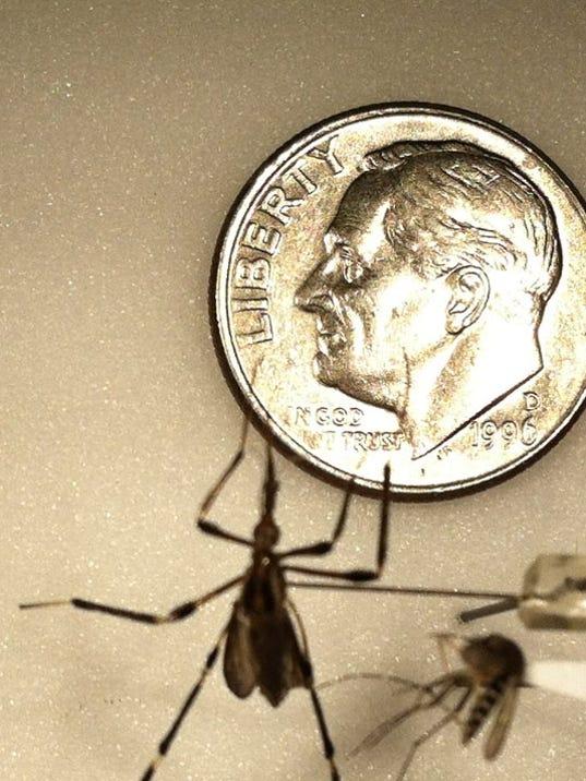 big mosquitoes