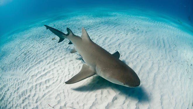 Lemon sharks are one of the larger species of sharks, usually growing about 8-feet long.