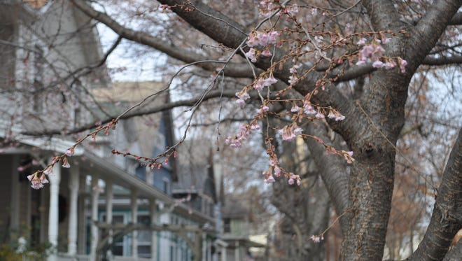 Temperatures about 20 degrees above normal brought a cherry tree to blossom Dec. 10 on the 200 block of Utica Street in Ithaca.