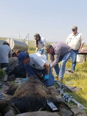 USDA Wildlife Services and Montana Fish, Wildlife and Parks have worked to capture and relocate grizzly bears from the Blackleaf Livestock Co. Ranch west of Bynum.