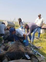 USDA Wildlife Services and Montana Fish, Wildlife and