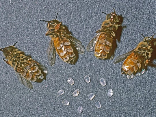 White scales of beeswax are secreted and stored on the underside of workers' abdomens in preparation for swarming.