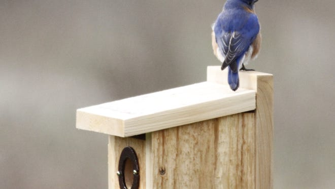 A male bluebird sits atop a nesting box that Stiles Thomas installed two springs ago. The metal plate around the opening prevents squirrels from gnawing there.