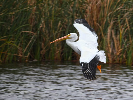 While pelicans are among the many migratory bird species that stay in the Coastal Bend. This one seems to like the freshwater ponds of Padre Isles.