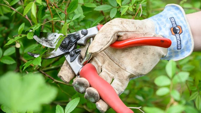 Shrubs should not be severely pruned again until spring.
