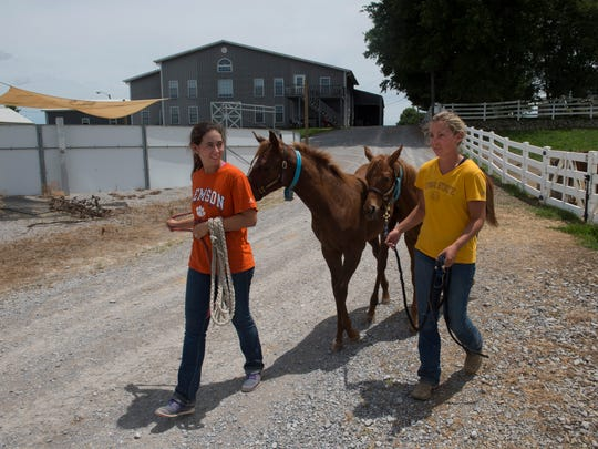 Summer interns Erika Jones, left, and Ashlyn Grogan lead weanlings to the barn after spending the morning in the pasture at Gumz Farms Tuesday afternoon. The interns will help in the training of the foals during their three-month gig.