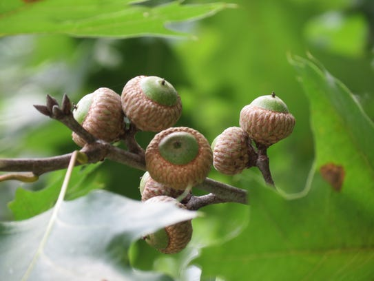 We're having a bumper crop of acorns this year.