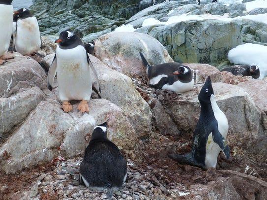 Gentoo penguins have red bills and have started showing