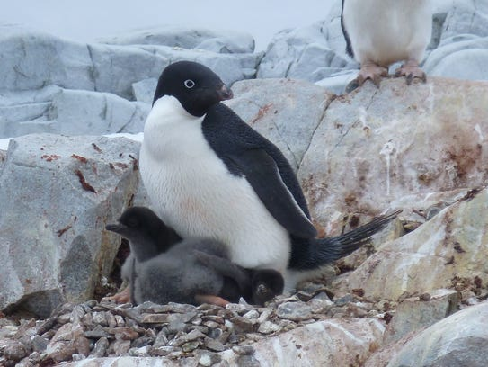 An Adelie penguin tends to a chick in the West Antarctic