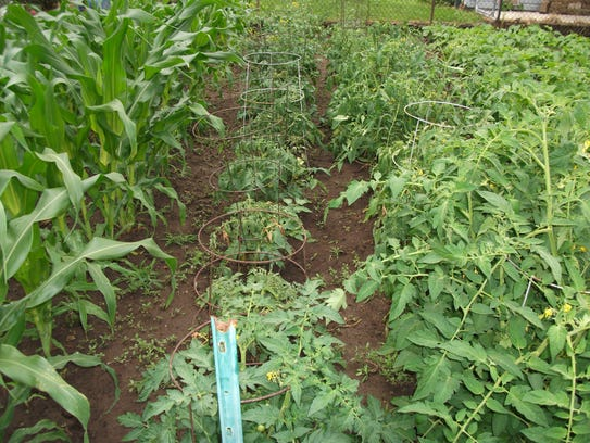 A row of stunted and wilting tomatoes near a black