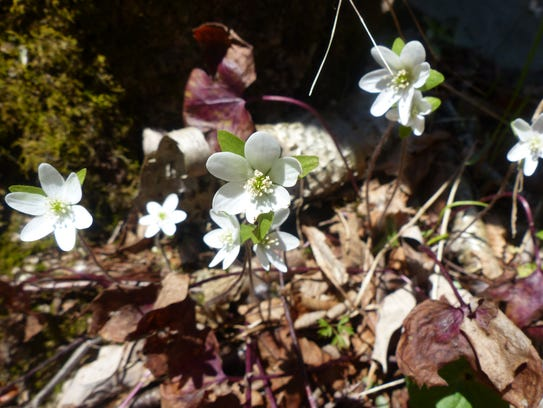 Hepatica bloom on Grandfather Mountain. The state park