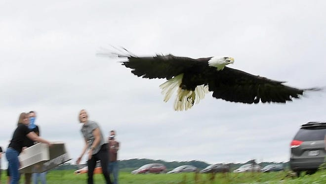A 5-year-old female bald eagle takes flight on Saturday after she is released by members of the MU Raptor Rehabilitation Project at Eagle Bluffs Conservation Area. The eagle was shot in November in Monroe County, according to veterinarian Whitney Collins. The eagle had surgery to have a metal pin placed in her broken wing. The eagle was named for the poet Dorothy Parker and will join three pairs of American bald eagles residing at the Eagle Bluffs Conservation Area. The eagles are named Katy and Mac, Moe and Bandy and Boone and Becca.