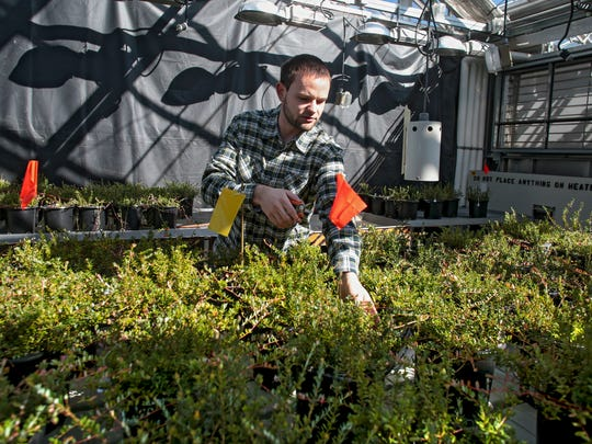 In this Thursday, March 15, 2018 photo, Eric Wissman, a Laboratory Technician with USDA-ARS, works on pruning cranberry plants out of the Walnut Street Greenhouse on University of Wisconsin-Madison campus in Madison, Wis.