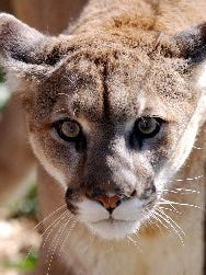 Romeo, a male mountain lion at the Rocky Mountain Wildlife Reserve in Keenesberg, walks in his cage Friday March 2, 2003.