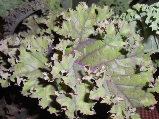 636402195211400242-NEW-0907-Garden-column-kale.JPG
