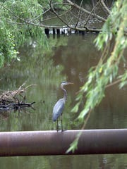 A great blue heron rests on a water pipe crossing the