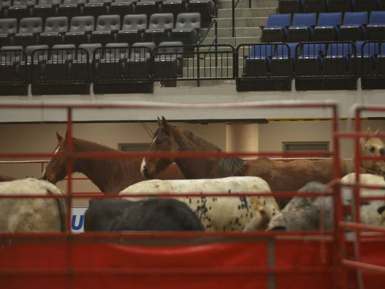 Horses and cows in a corral on the floor of the convention