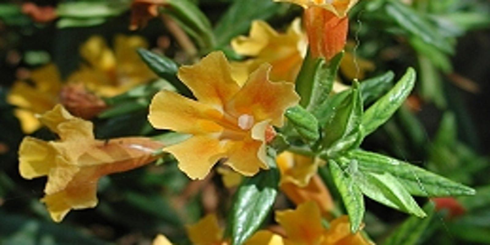 Monkeyflower A Drought Tolerant Choice