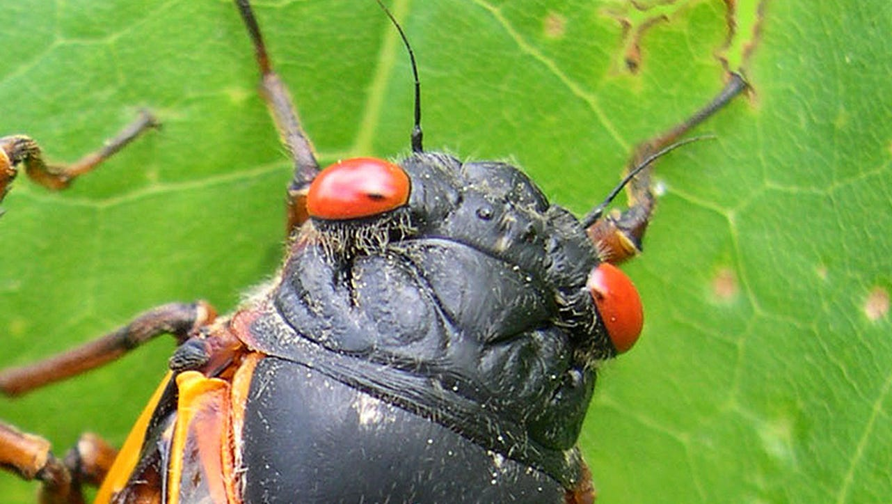 17-year cicadas are waking up. They have red eyes and are as noisy as a lawnmower. There's nothing to fear.