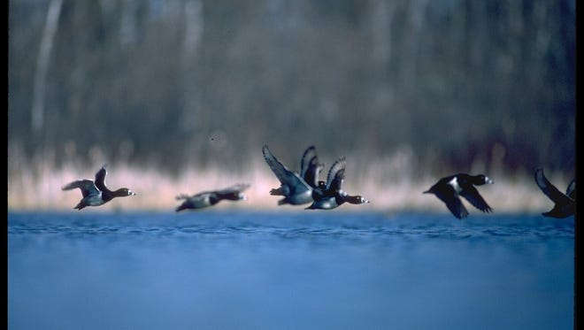Scaup flying