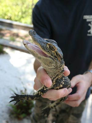 Come to the Environmental Studies Center's open house on Oct. 21 and meet Joey the alligator.