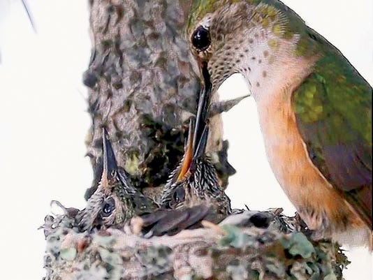 Photographer David Tremblay captured a tender moment as a mother hummingbird feeds her chicks in the nest.