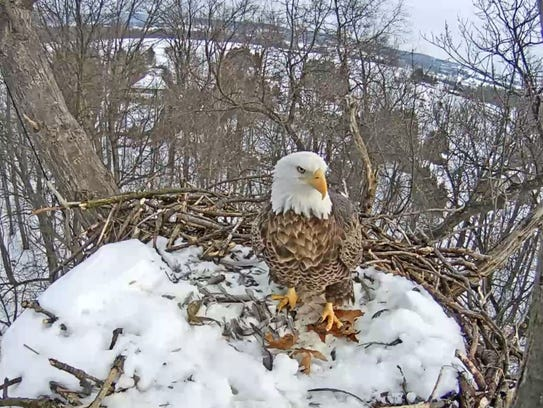A Hanover eagle looks out from its snowy nest on Jan.