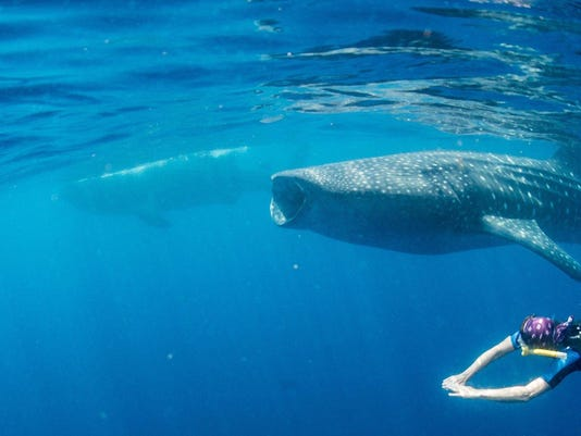 Off the Ucatan Peninsula, tourists snorkel with whale sharks