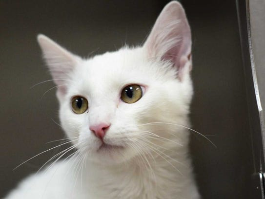 Casper - Male domestic short hair, adult. Intake date: 8/30/2017