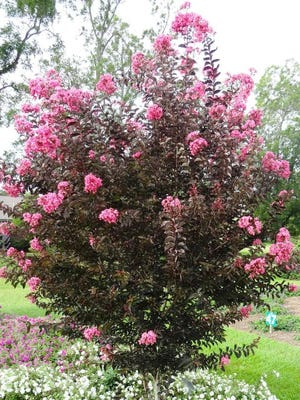 Topping is an unnecessary and improper pruning practice that is not good for any kind of shrub, and is done to crape myrtles too often.